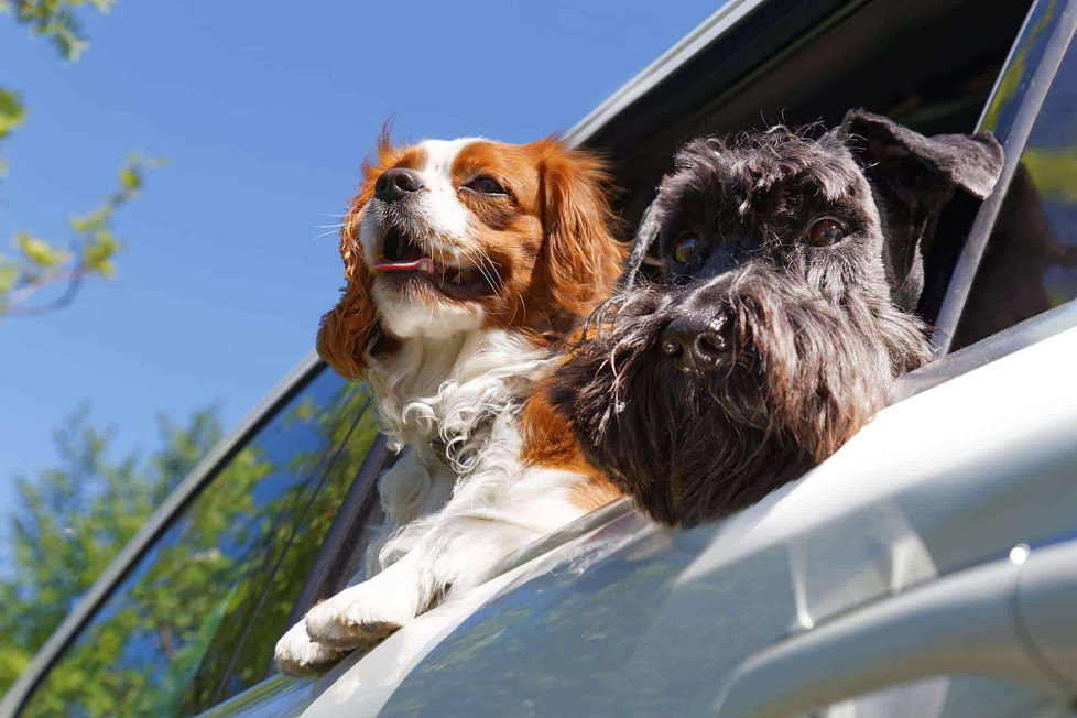 Two dogs look out the open car window