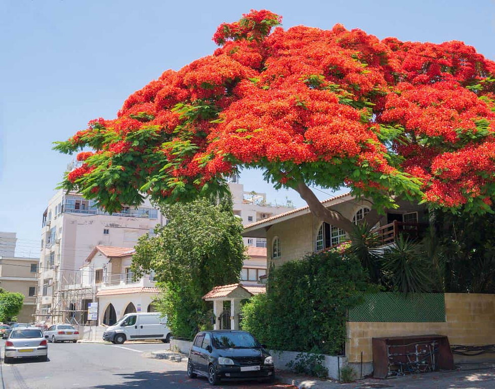 A flame tree in full bloom in Limassol, Cyprus - a very popular destination for British retirees.